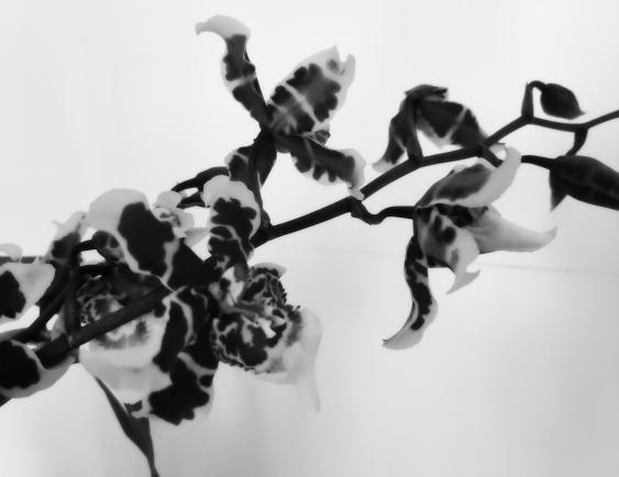 orquídeasB&N